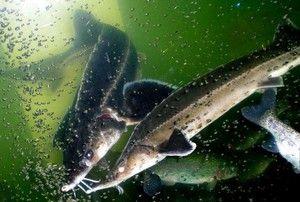 Opis ribjega stereta. Kaj se prehranjuje in kako vzrejati?