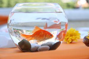 Opis najbolj priljubljenih akvarijskih rib za domače vsebine