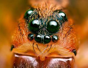 Organi pajkovega pogleda in pomembno vprašanje so koliko oči imajo
