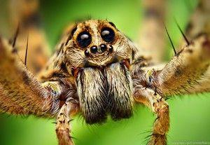 Spiderov vidni organi