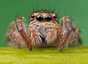 Oči pajkovega konja