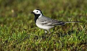 Značilnosti gnezdenja življenja selitvenih ptic bele pečenice