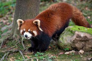 Značilnosti majhne ali rdeče (rdeče) pande