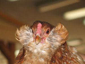 Vrste piščancev Araucan