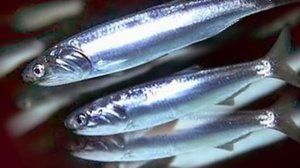 Lastnosti: hamsa ribe (Črno morje)