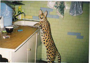 Pojav mačkov serval