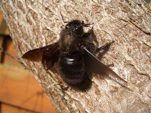 Značilnosti življenja črnega čebelnjaka