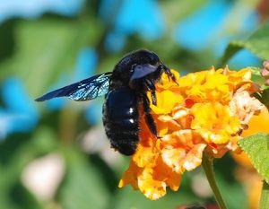 Črni čebelj