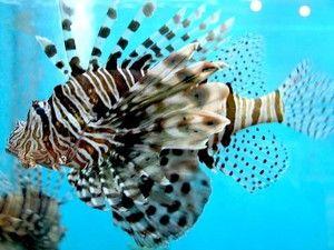 Posebnosti življenja rib iz lionfish
