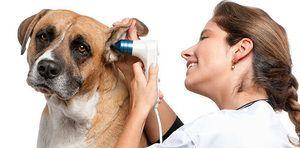Otitis pri psu kot za zdravljenje: alergijski otitis