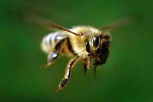 O čem sanja kakšna leteča čebela