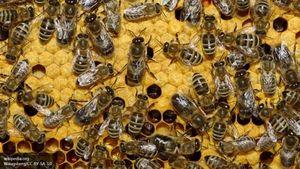O čem sanjajo veliko čebel