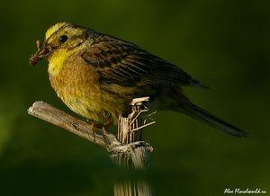 Ovsena kaša pogosti kot krmne ptice