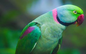 Parakeet ali papiga ptica