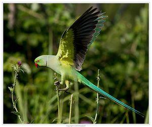 Parapeet papiga v letu