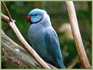 Modra opečena papiga