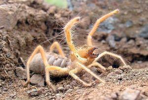 Spider falanks -