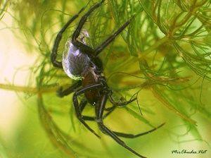 Zanimiva fotografija: pajek srebro v vodi