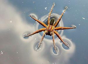 Premikanje srebrnega pajka po kopnem in vodi