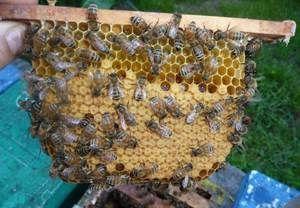 Posebnosti čebele pasme