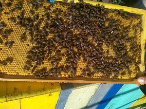 Pasma čebel