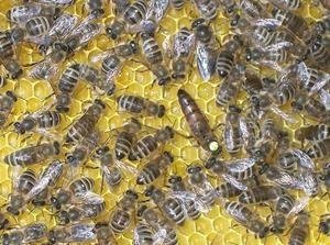 Kako čebela