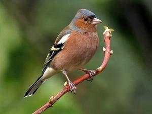 Selitvena ptica navadne finch
