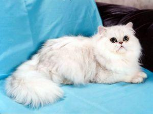 Perzijski chinchilla: zgodovina mačk in vse tanke vsebine