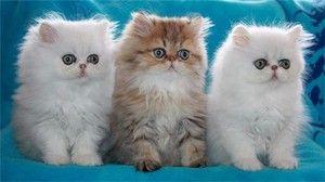 Perzijske mačke in mačke: opis pasme in pravila za ohranjanje
