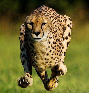 Značilnosti geparda