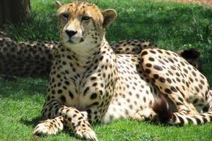 Kakšna hitrost razvija gepard?
