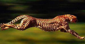 Kje živi gepard?