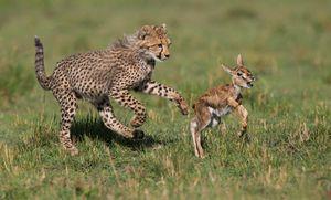 Kakšne vrste gepardov življenjskega sloga vodijo?