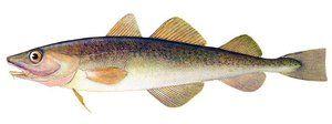 Koristne gastronomske lastnosti daleč vzhodne ribe navage