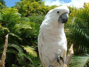 Parrot Cockatoo: Lepa ptica, spremljevalec in prijatelj