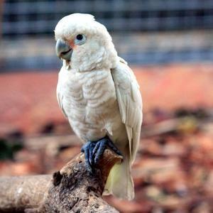 Tanimbar Cockatoo Opis