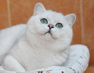 Mačke pasajo britansko šinčilo