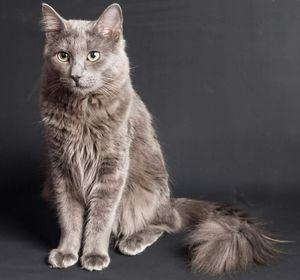 Pasma mačk nibelung in njegove značilnosti