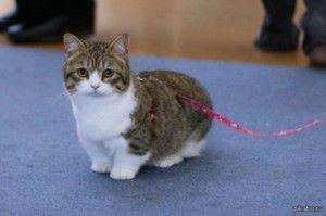 Pasma mačk s kratkimi tačkami