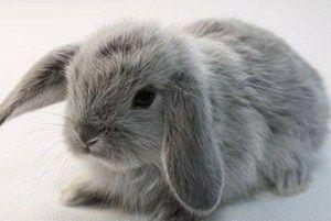 Zajec pasma lop-eared ram: opis in vsebina