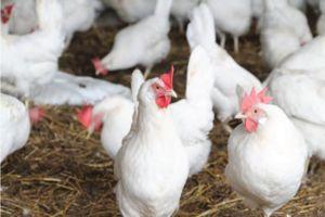 Psi iz piščančjih belih piščancev