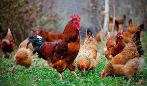 Pasma piščancev Kuchinskaya Jubilee