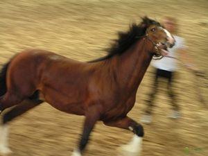 Konje konj in njihove značilnosti