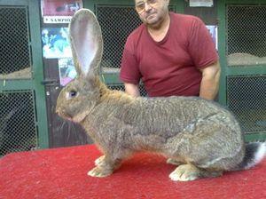 Ogromne zajce