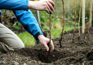 Sajenje sadnih dreves spomladi in jeseni