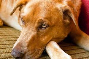 Znaki, ki označujejo okužbo psa z črvi