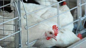 Simptomi atipične kokošje kuge
