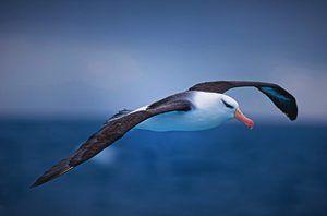 Opis Albatrossa