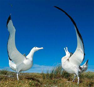 Bird Albatross
