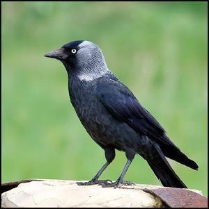 Bird of the jackdaw. Opis in habitat. Selitvene ptice ali ne?